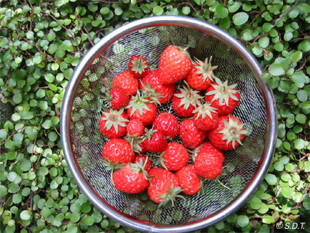 strawberry2005.jpg